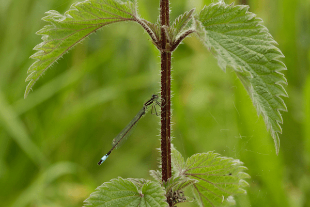 Blue Tail Damselfly